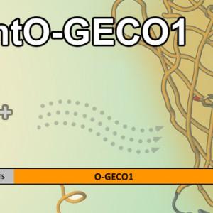 mtO-GECO1 Kopie