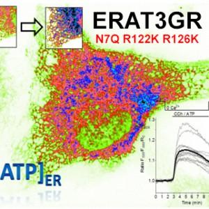 ERAT3GRN7Q R122K R126K Kopie