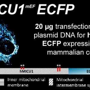 hmicu1_efhandmut-ecfp-kopie