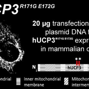 hucp3-r171g-e172g-kopie