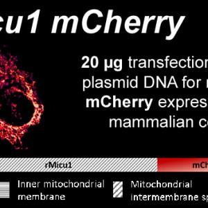 rmicu1-mcherry-kopie